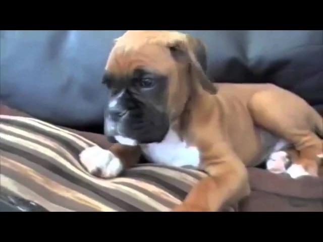 Смешной Немецкий Боксер Собака