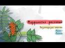 Разнообразие побегов: клен, рябина. Морфология растений - 5