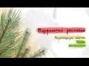 Разнообразие побегов: сосна, лиственница. Морфология растений - 6