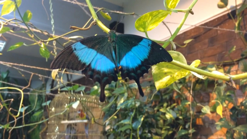 Необыкновенная мимикрия бабочки Парусник Палинур