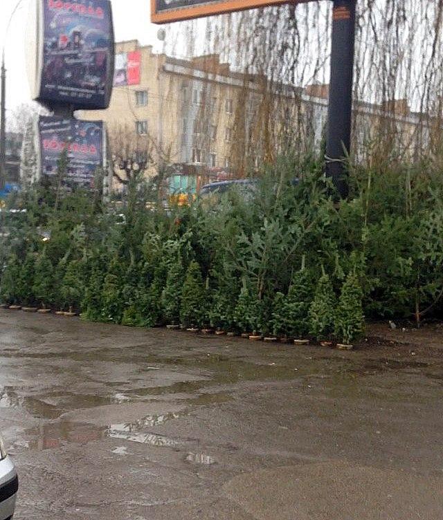 У Чернівцях почали продавати ялинки (ФОТО)