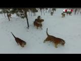 Амурские_тигры_из_китайского_зоопарка_устроили_охоту_на_дроныThis_is_VIDEO92