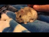 Hamster kick starting Хомяк заводится