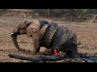 Giant Anaconda Attacks Human - Giant Anaconda vs crocodile - Giant Anaconda vs Felidae #2