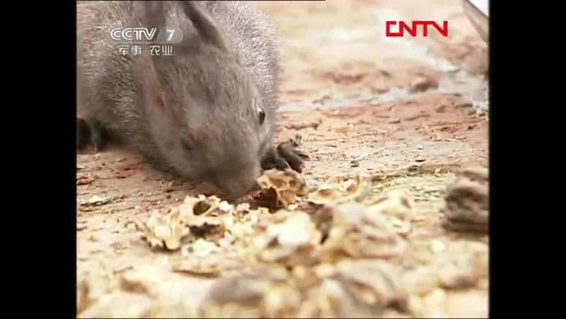 Белки ''Суншу'' - технология разведения животных в искусственных условиях, для любителей природы ''Цзыжань Айхао Чжэ''.