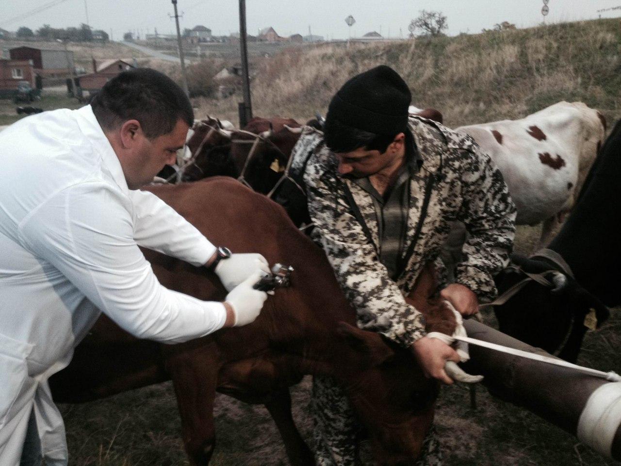 В Ростовской области начались осенние обработки сельхозживотных и птицы