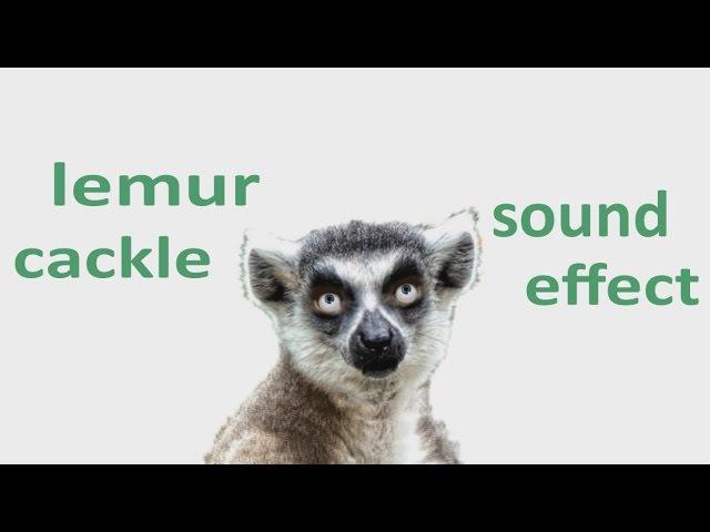 The Animal Sounds: Lemur Cackle - Sound Effect - Animation