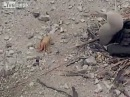 Crab amputates his own claw
