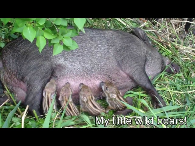 New born Wild baby boars