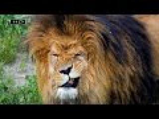 Монарх в царстве зверей имеющий большой гарем, звезда компании и обладатель мно ...
