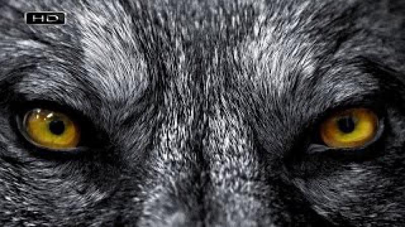 Они хитры и непредсказуемы, не боятся сибирской язвы, стайная охота длиной в нес ...