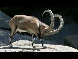 Охота на барана и сибирского горного козла, козерога в Киргизии