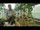 Проверенный сорт томатов Зарево