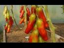 Проверенный сорт томатов: Аурика