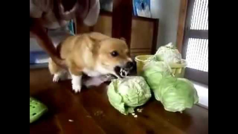 Very angry dog eating cabbage))