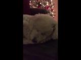 Собачка засыпает под песню хозяйки