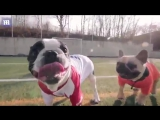 Football crazy, football mad_ Bulldogs face off in footy match