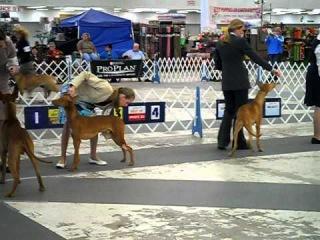 Atlanta AKC dog show-Pharaoh Hounds BOB (1)