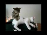 Кошачий массаж. Котёнок делает массаж другому кошаку _ Cat massage. Kitten massa