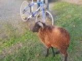 Баран против велосипеда