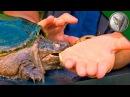 Укус каймановой черепахи.Черепаха укусила за руку.Brave Wilderness на русском