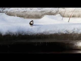 White-throated dipper / Оляпка / Cinclus cinclus