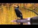 Great Cormorant / Большой баклан / Phalacrocorax carbo