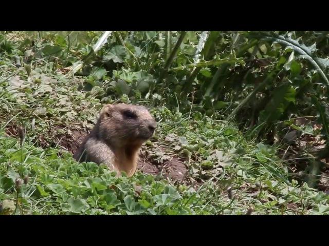 Gray Marmot / Серый сурок / Marmota baibacina » Freewka.com - Смотреть онлайн в хорощем качестве