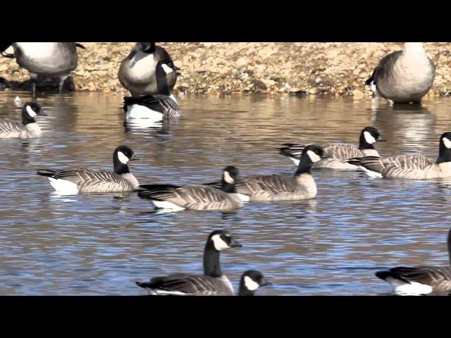 Cackling Goose / Lesser Canada Goose / Малая канадская казарка / Branta hutchinsii