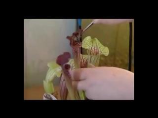 Плотоядные растения. Заведите себе симпатичного домашнего хищника! Дача