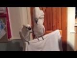 Попугай задорно танцует под рок-н-ролл Элвиса Пресли