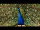 Индийский павлин Indian Peafowl Энциклопедия животных
