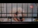 Собачьи бои без правил на ул. Куйбышева: бойцовский пес перекусил челюсть миниатюрной собаке (Екатеринбург)