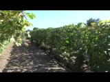 Вызревание лозы винограда. Сентябрь 2016