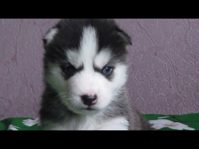 Husky. Male 1. KINGDOM HUSKY (DEXTER ICHA)