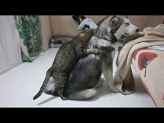 Маламут и кошка ... настоящая любовь