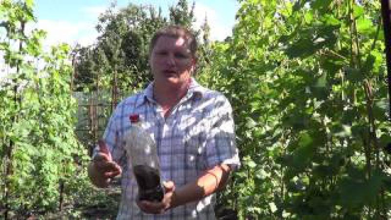 Удобрение виноградника. Виноград 2015.
