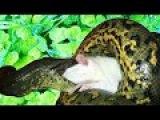 Кормление гигантской анаконды. Anaconda feeding