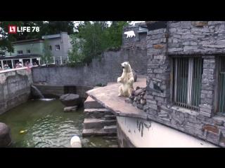 Белые медведи в Ленинградском зоопарке спасаются от жары ледяными тортиками
