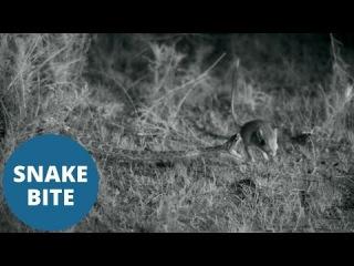 High-speed video captures rattlesnake striking a kangaroo rat