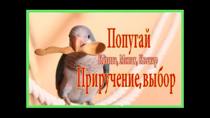 Попугай Калита Монах Квакер выбор, приручение