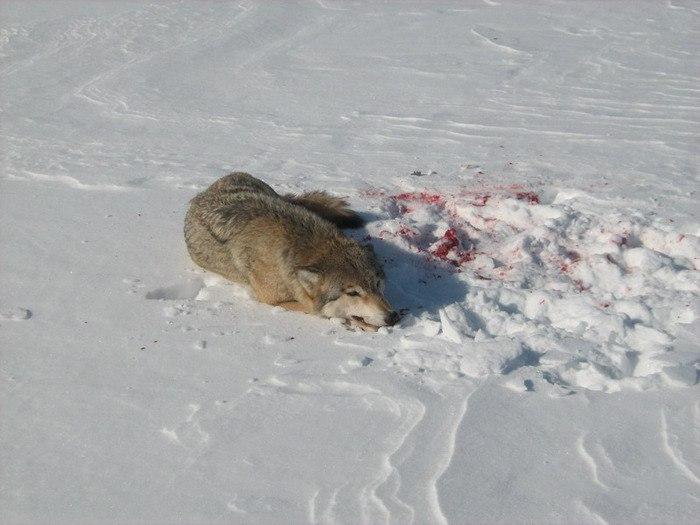 В Ростовской области застрелен бешеный волк