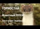 ТОТЕМ | ГОРНОСТАЙ - животный тотем|  126-й градус Зодиака