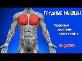 ГРУДНЫЕ МЫШЦЫ. 10 ФАКТОВ. Тренировки, Анатомия, Биомеханика