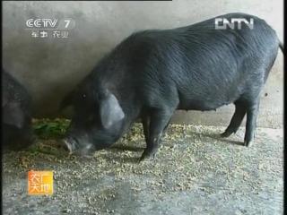 Свиньи чёрной породы ''Сянси'' - разведение  в провинции Хунань, или 500-летняя история свиноводства Севера и Юга Китая.