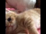 Милый котёнок зевает Cute kitten yawning