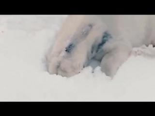 В зоопарк Сан-Диего завезли 26 тонн снега. Реакция белых медведей бесподобна.