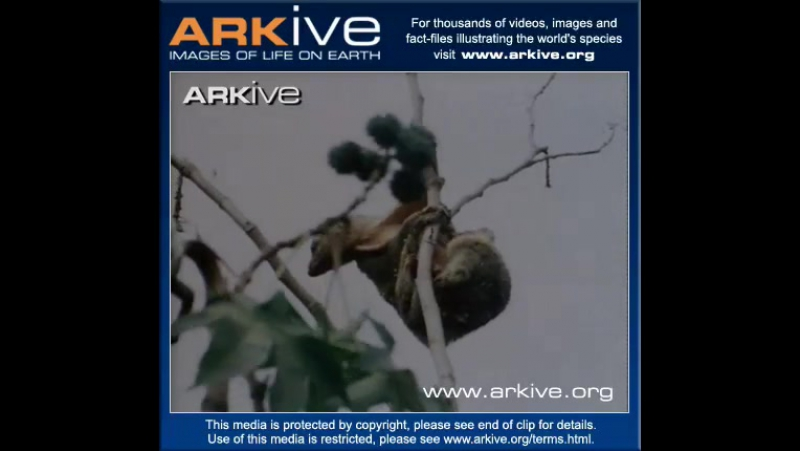 Филиппинский шерстокрыл Philippine Flying Lemur (Cynocephalus volans)