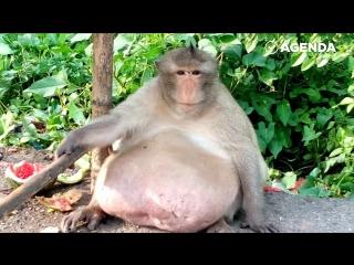 Самая жирная обезьяна