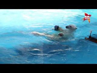 Белый мишка спасается от жары в ижевском зоопарке